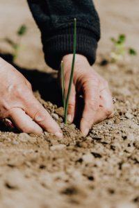Zwei Hände pflanzen einen grünen Halm in unbedeckte Erde.